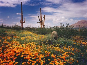 Wildflowers at Picacho Peak State Park, Arizona
