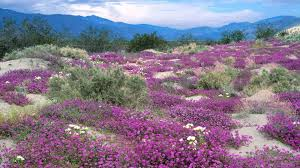 Sand Verbena spreads across the desert floor